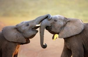 2-elephants-gentle-greeting